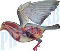 Bird Dissection Pigeon Model