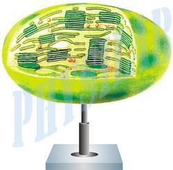 Chloroplast Models