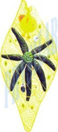 Euglena Models