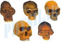 Prehistoric Man Skulls - Set Of 6