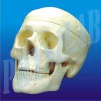 Human Skull Model - 2 Parts