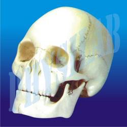 Human Skull Model- 3 Parts