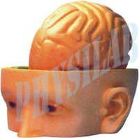 Human Head & Brain Model