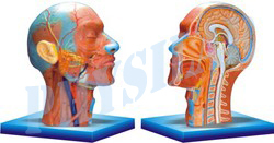 Human Half Head And Neck With Musculature Model