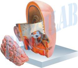 Human Head With Brain Moodel - 3 Parts