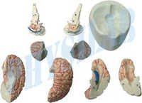 Human Brain With Arteries Model -8 Parts