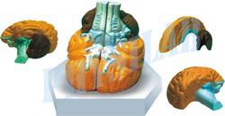 Human Brain Model - 4 Parts