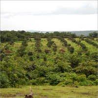 Fruits Tree Plantation Service