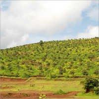 Green Mango Tree Plantations