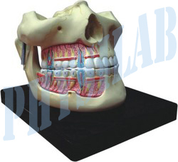 Human Upper And Lower Jaw Model
