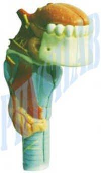 Larynx With Tongue  Teeth Model