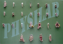 Human Teeth Model - Set Of 25