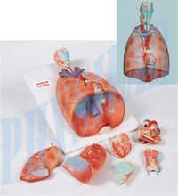 Heart & Lungs Model-7 Parts
