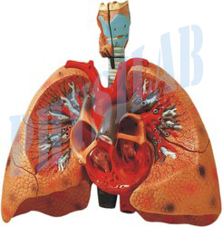 Heart With Lungs And Larynx Model