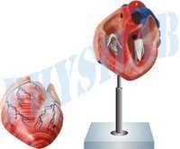 Human Heart Model 2 Parts