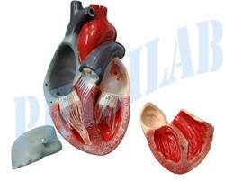 Human Heart Model 3 Parts