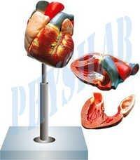 Human Heart Model 4 Parts