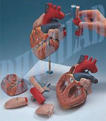 Human Heart Model 7 Parts