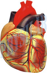Human Heart Extra Large Size Model