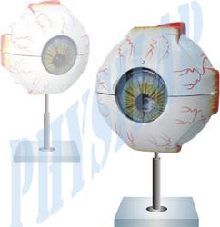 Human Eye 5 Times Enlarged Model