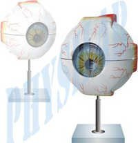 Human Eye 5 Times Enlarged Model
