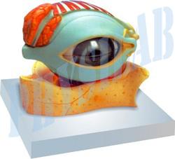 Human Eye With Lid Model