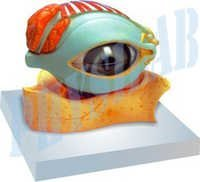 Human Eye With Lid Model