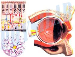 Human Eye Demonstartion Model