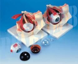 Eye In Bony Orbit Model