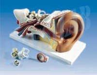 Human Ear-5 Parts Model