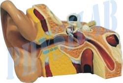 Human Ear Model -6 Parts