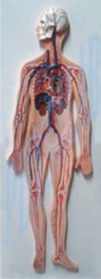 Human Circulatory System Model
