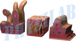 Human Digestive Canal Model