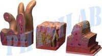 Human Digestive Canal Model