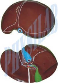 Human Liver With Gall Bladder Model