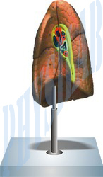 Human Lung Right Model