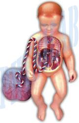 Human Fetal Circulation Model