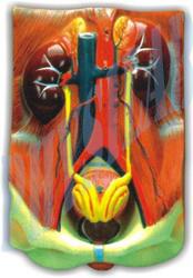 Human Urinary Organs Model -3 Parts