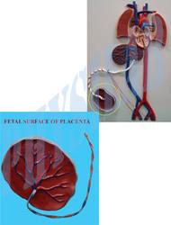 Fetal Circulation Model