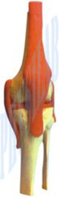Human Knee Joint Model