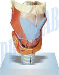 Larynx Full Size Model -2 Parts