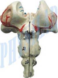 Human Brain Stem Model