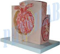 Micro Anatomy Kidney Model