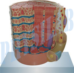 Micro Anatomy Muscle Fiber Model