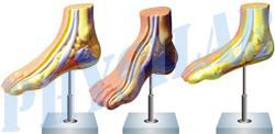 Human Foot Bow Model