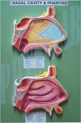 Nasal Cavity And Pharynx Model