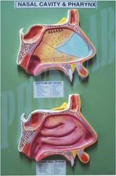 Nasal Cavity And Pharynx Model