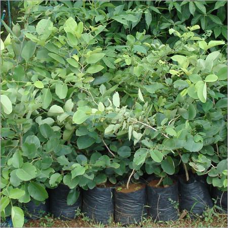 Pterocarpus Santlinus(RED SANDARS)