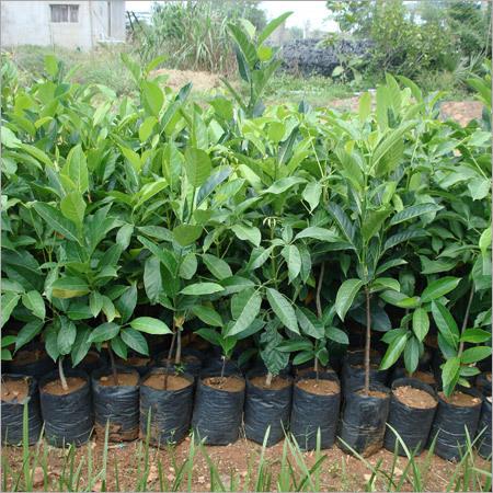 Artocarpus Hetrophyllus