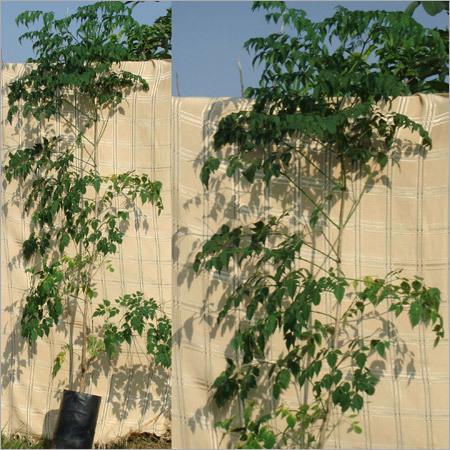 Millingtonia Hortensis Plant